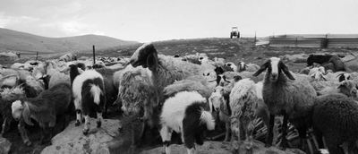 For_generations_the_Bedouins_of_Al-Hadidiyeh_let_their_sheep_graze_on_their_land_in_the_north_of_the_Jordan_Valley_1_.jpg